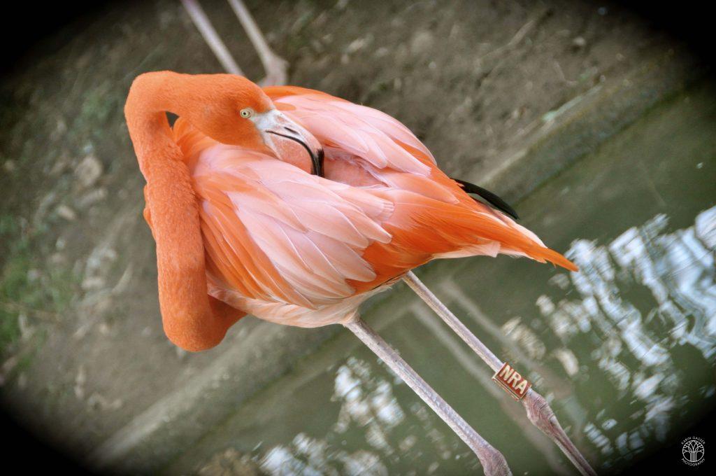 Wien Zoo, Schönbrunn Flamingo (0116)