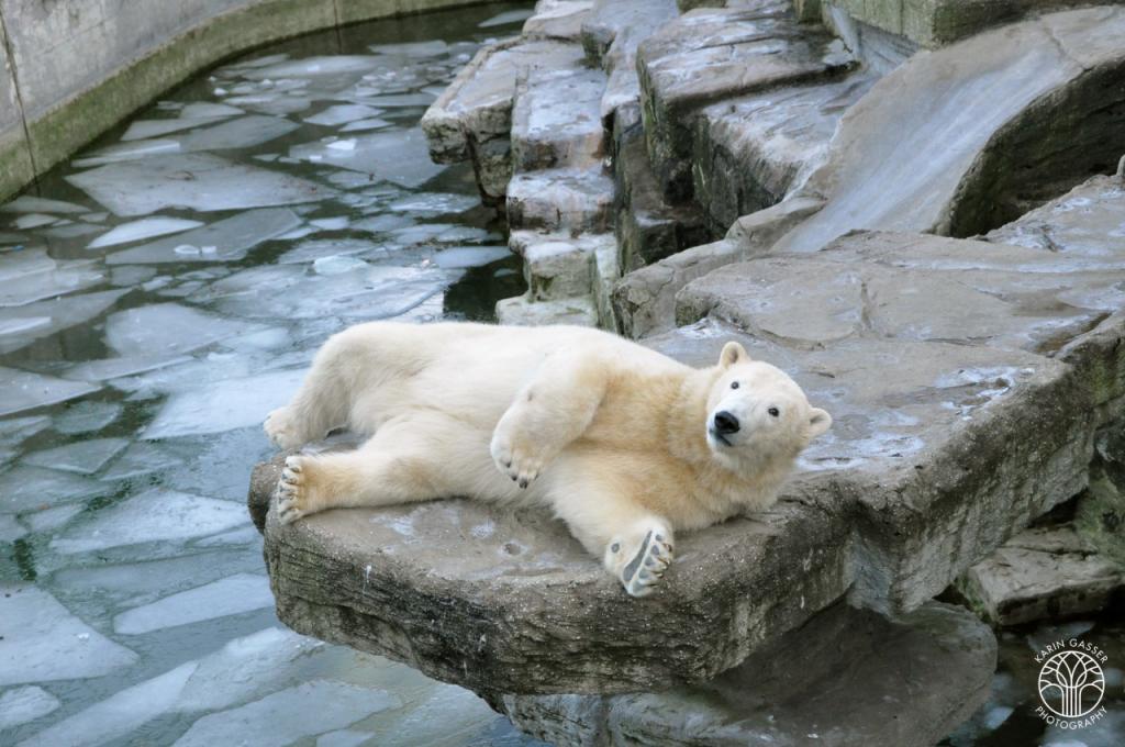 Wien Zoo Schönbrunn Eisbär (0163)